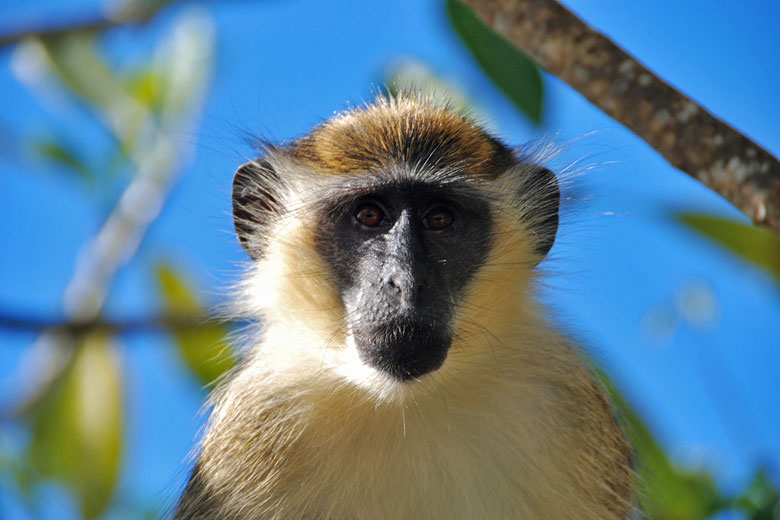 Barbados Green Monkey © Corvair Owner - Flickr Creative Commons