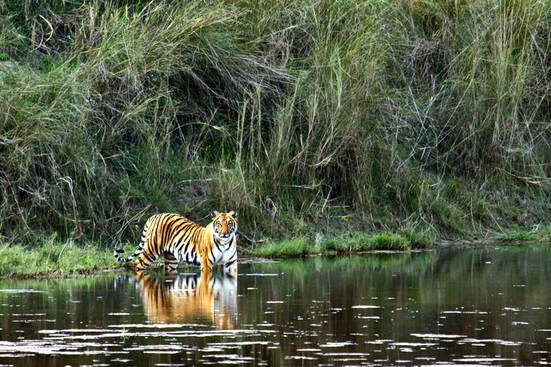 Bengal tiger spotted on the river's edge © UTOPIA - Fotolia.com