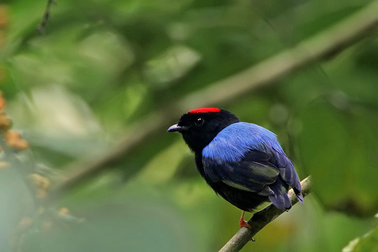 Blue-backed manakin, Tobago rainforest © Steve Garvie - Wikimedia Commons