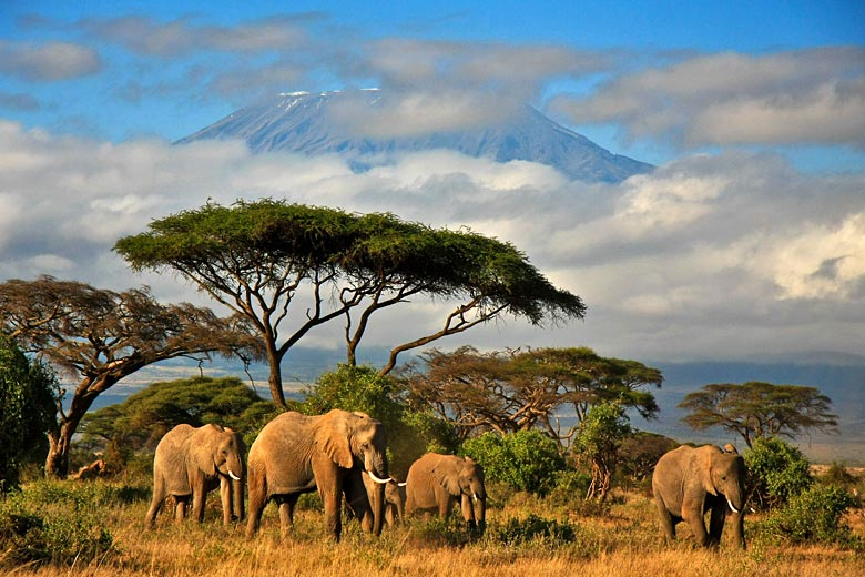 Elephant family in the shadow of Mt Kilimanjaro, Kenya © Danielle Mussman - Fotolia.com
