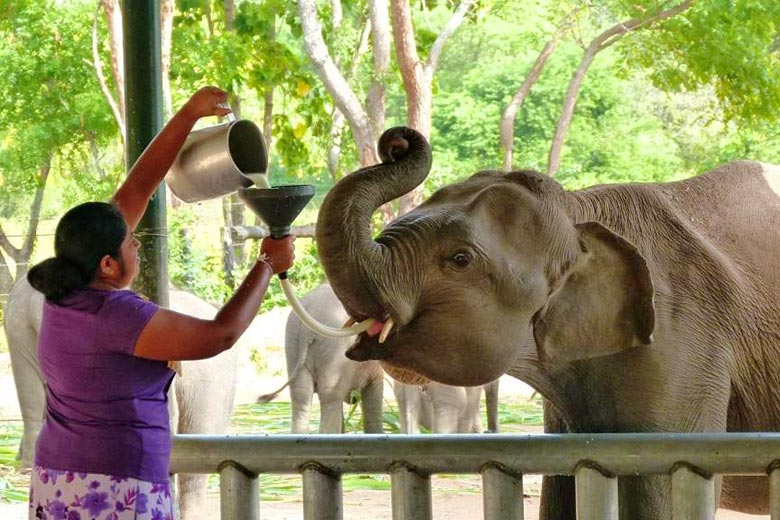 Feeding time at the Elephant Transit Home, Udawalawe © Sri Lanka Elephant - Flickr Creative Commons