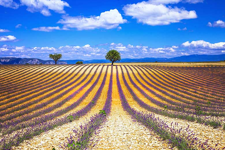Field of lavender in Provence, South of France © Freesurf - Adobe Stock Image
