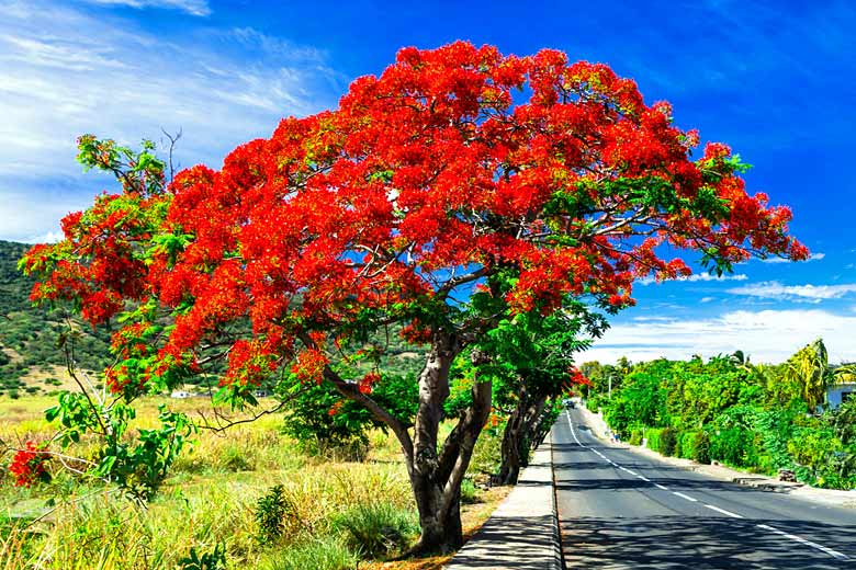 Flamboyant (or Flame) tree in full bloom, Mauritius in December © Freesurf - Adobe Stock Image