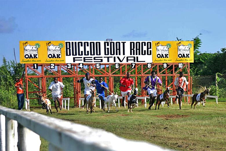 Try a day at the goat races in Buccoo - photo courtesy of www.gotrinidadandtobago.com