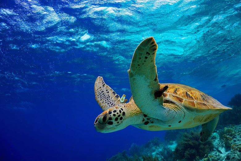 Green turtle, a common sight on Mexico's Caribbean coast © Isabelle Bonaire - Fotolia.com