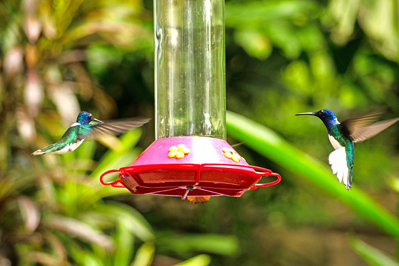 Hummingbirds at the Adventure Farm & Nature Reserve, Tobago © BasPhoto - Adobe Stock Image