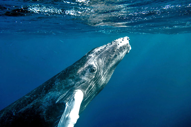 Inquisitive humpback calf spying on whale watchers © Christopher Michel - Flickr Creative Commons