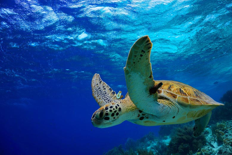 Juvenile green turtle on the reef © Isabelle Bonaire - Fotolia.com