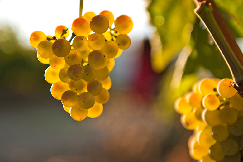 The Malvasia grape, Istria - photo courtesy of the Association of Winegrowers and Winemakers of Istria