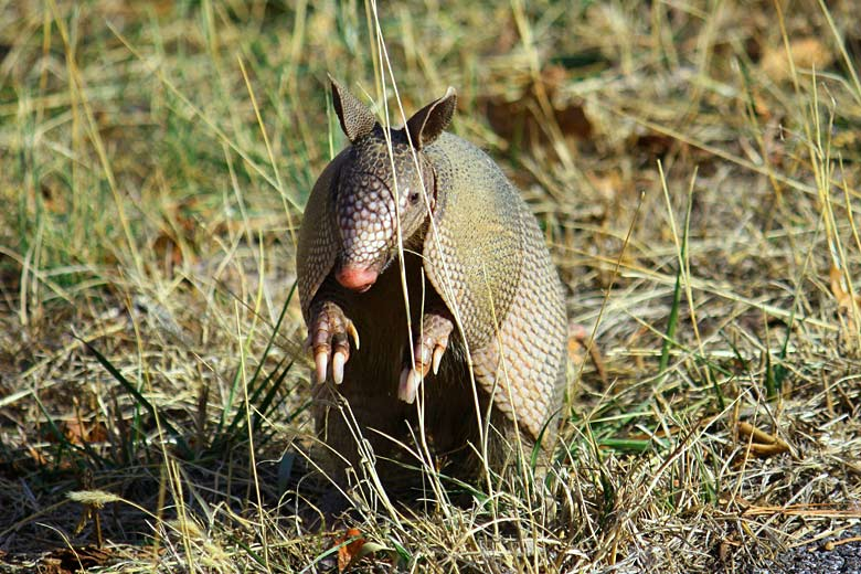 The termite-eating nine-banded armadillo - public domain image