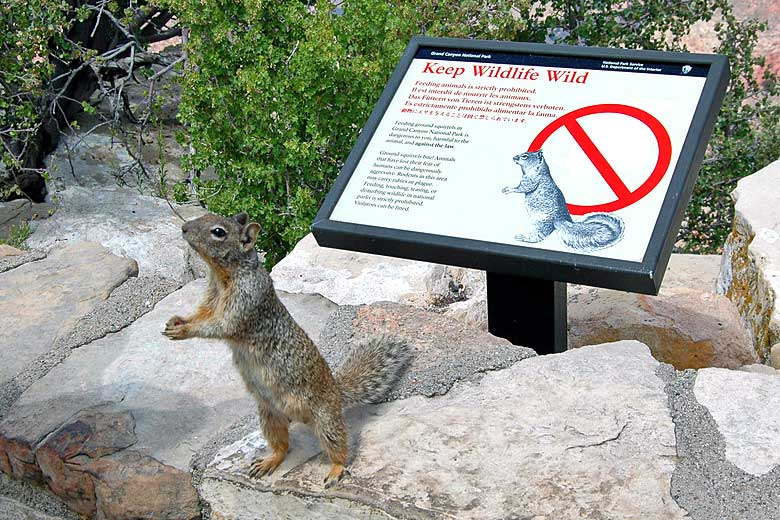 Watch out for Rock Squirrels - they bite! - photo courtesy of Grand Canyon NPS