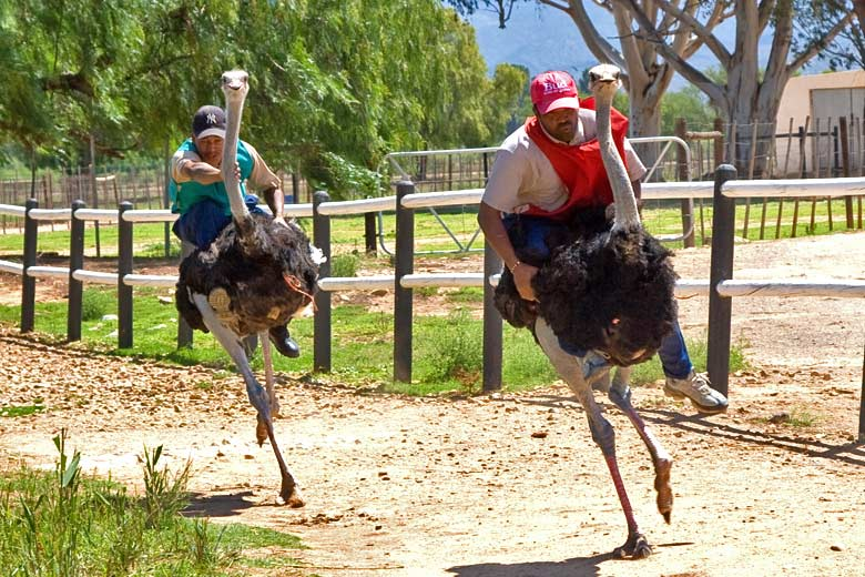 Ostrich riding demonstration © jomilo75 - Flickr Creative Commons