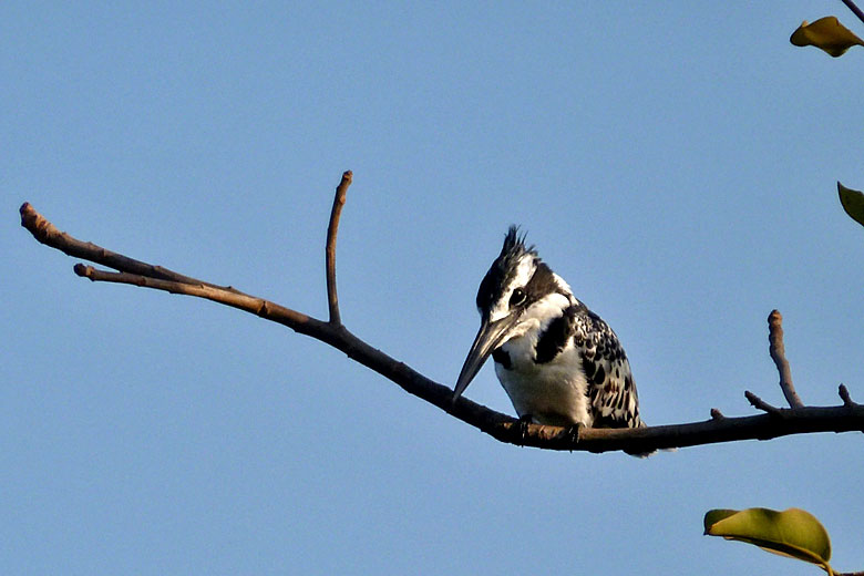 Pied kingfisher, one of hundreds of bird species found in the Gambia - photo courtesy of the Gambia Tourism Board