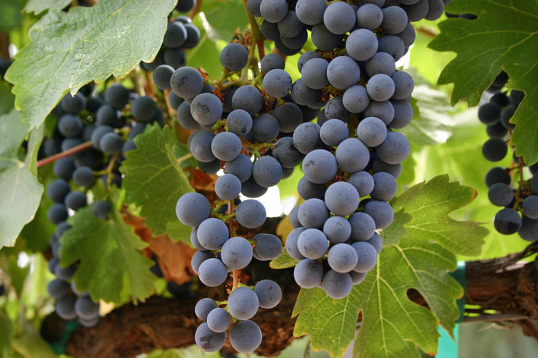 Pinot Noir grapes at Domaine Chandon © Mack Male - Flickr Creative Commons