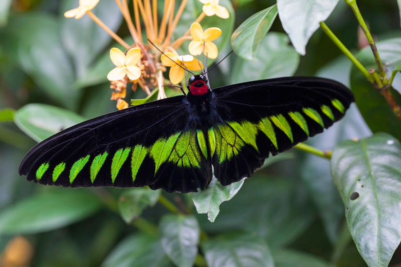 Rajah Brooke's Birdwing, the national butterfly © AnSchieber - Flickr Creative Commons
