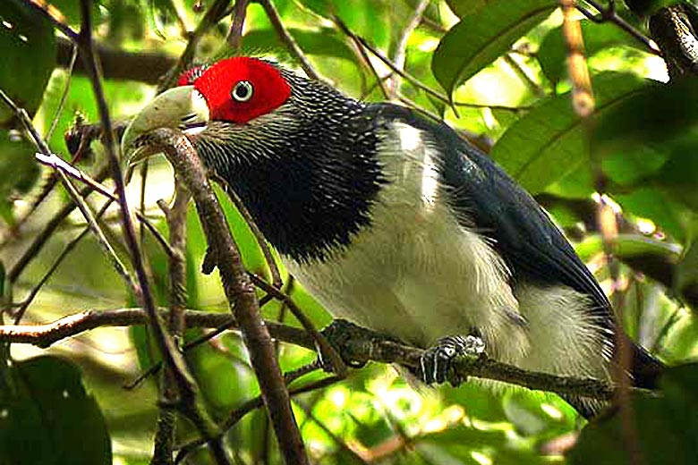 Red-faced Malkoha, found only in southwest Sri Lanka - photo courtesy of Amila Salgado