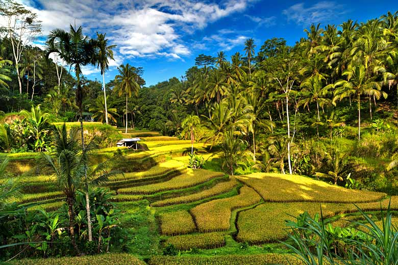 Rice terraces on the edge of a forest near Ubud, Bali © Daphnusia - Adobe Stock Image