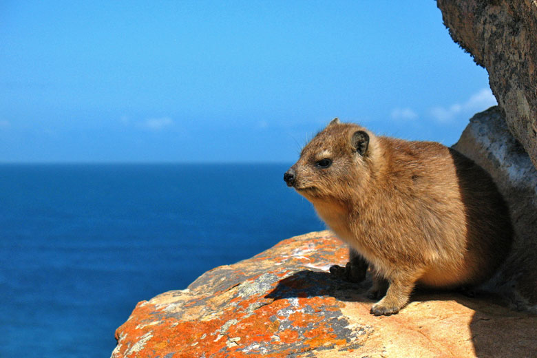 South African Rock Hyrax © Vilseskogen - Flickr Creative Commons