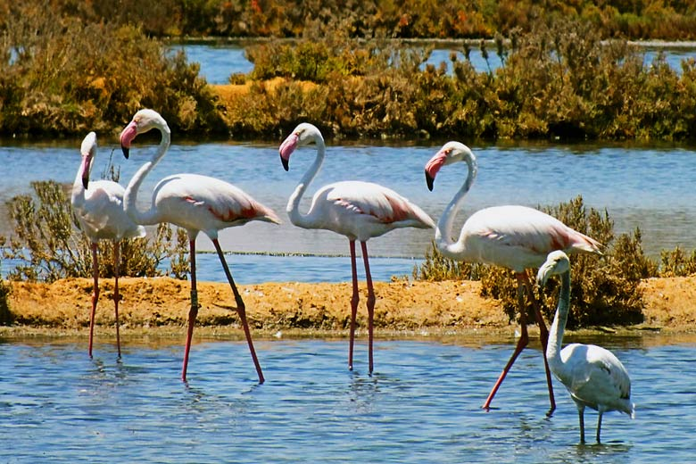 Undiscovered Algarve guide, Portugal - Flamingos in the wild © Roweromaniak - Wikimedia Commons