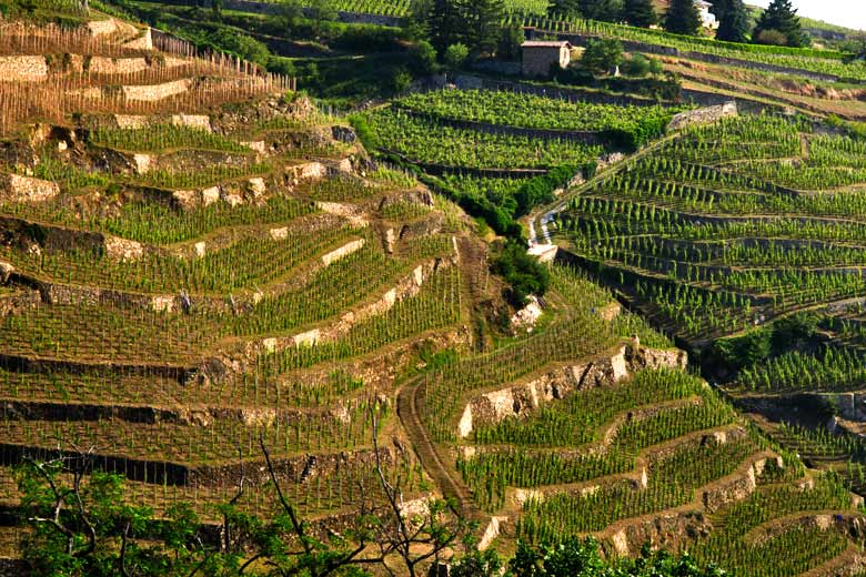 Steep terraced vineyards in the Rhône Valley © X. Pages - courtesy of Vienne Tourism