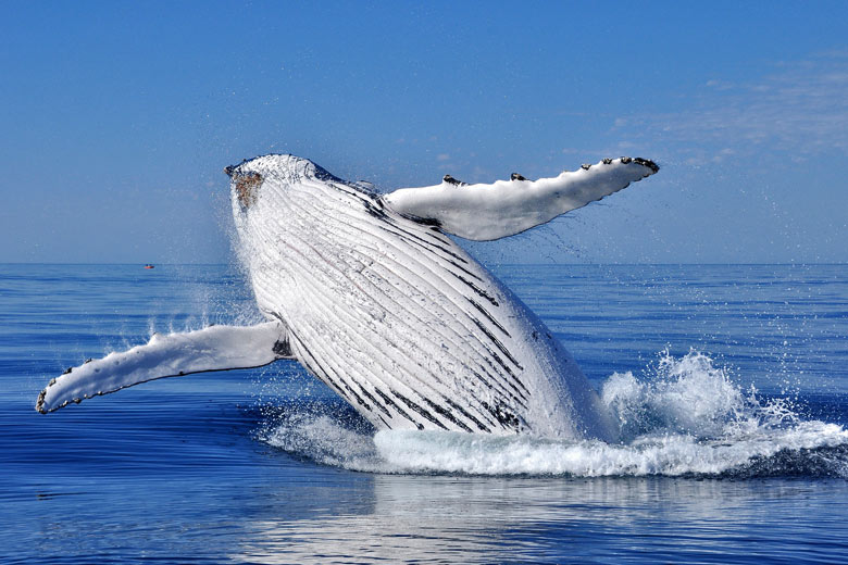 The whale watching season runs from March to May © s1000rr - Fotolia.com