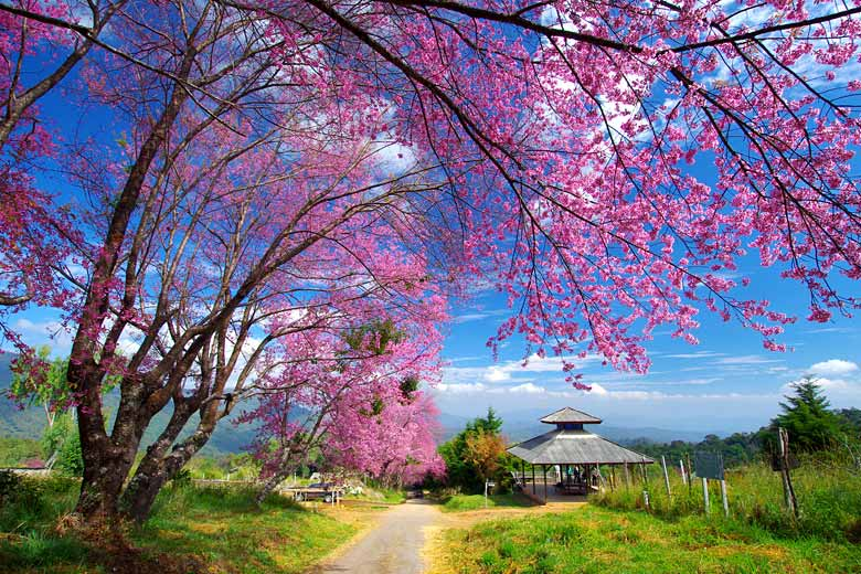 Wild cherry blossom in February in the mountains of Northern Thailand &copy JZero - Fotolia.com